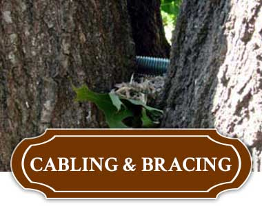 Tree Cabling & Bracing in Tulsa